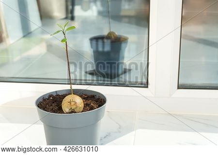 Bitcoin Plant With A Sprout And Green Leaves In A Pot On Balcony With Copy Space. Ecology Impact, Gr
