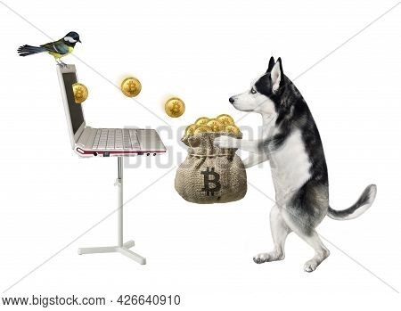 A Dog Husky In A Red Cap Earns Bitcoins Using Laptop And Puts Them Into A Burlap Sack. White Backgro
