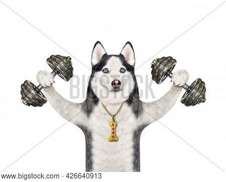 A Dog Husky Athlete Lifts Hard Dumbbells. White Background. Isolated.