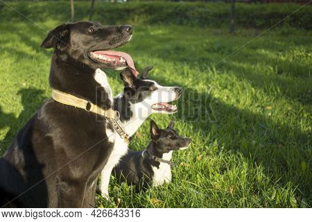 Head Shot Of Three White And Black Dogs Of Blurry Green Background. Side Profile View. Group Side Vi