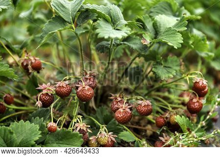 Ripe Strawberries Are Growing In The Garden. A Variety Of Small And Sweet Strawberries. Organic Food