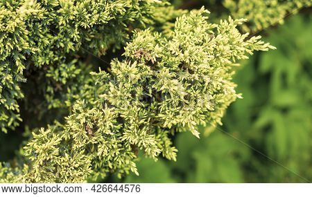 Evergreen Conifers, A Species Of The Genus Juniper Of The Cypress Family.