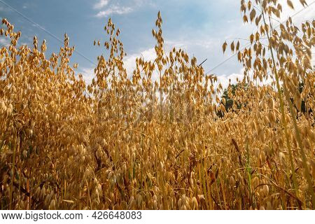 Close Up Of Common Oat Growing In A Oat Field