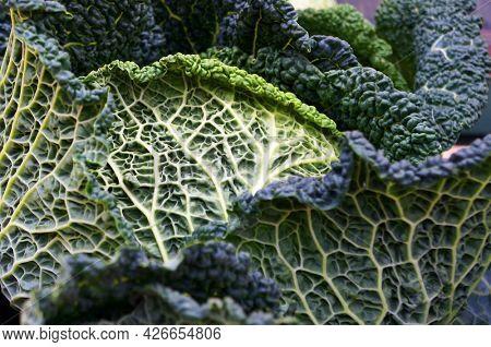 Closeup of Fresh Savoy cabbage.