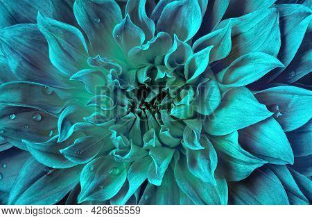 Chrysanthemum Flower In Trendy Menthol Tint, Close-up.