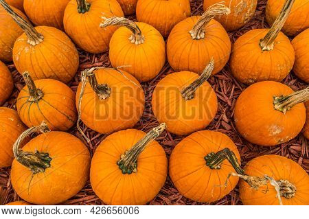 Looking Down At The Tops Of Several Pumpkins Just Picked From The Farm Field On A Bright Sunny Day I