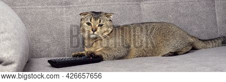 Beautiful Scottish Fold Cat On The Couch With Tv Remote Control.