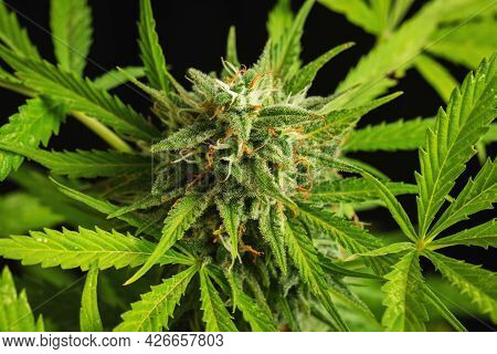 Cannabis Buds Close-up On A Dark Background. A Mature Marijuana Bush