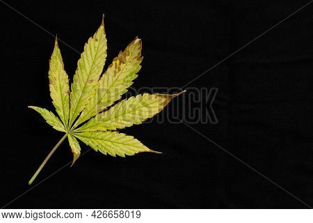 Copy Space Background Of Of Incomplete Marijuana Leaves And Sick With Characteristics Edge Of The Le