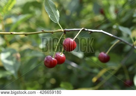 Red Cherry Berries On A Branch In Summer