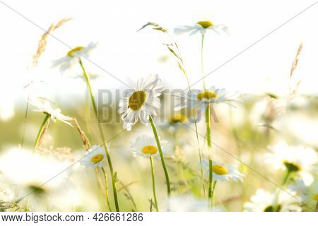 Wild Meadow. Field Flowers. A Clear Summer Day. Blue Sky With White Clouds. Blurred Background.