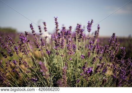 Blooming Bright Purple Lavender Flowers In Summer Season