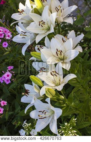 Beautiful White Lilies On Black Background Close-up.
