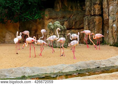 Flock Of Pink Flamingo . Wading Bird Family Phoenicopteridae . Exotic Birds And Natural Rocks
