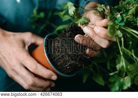 closeup of a caucasian man, in a gray working coat, taking a parsley plant out of its plastic flowerpot, to replant it