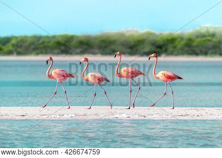 Flamingos Walking Across A Sand Bar In Rare Perfect Symmetry. The Shot Was Taken During The Great An
