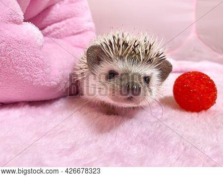 African Dwarf Hedgehog On Pink Background. Adorable Little Pet