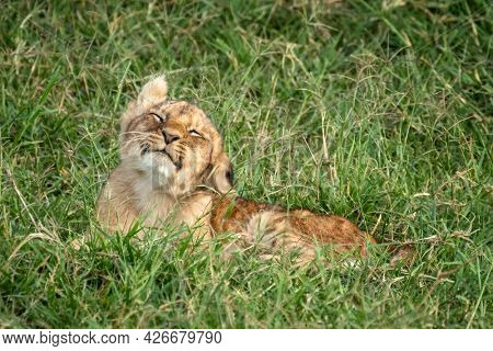You lion cub, panthera leo, shakes his head. He is lying in the long grass of the Masai Mara, Kenya.