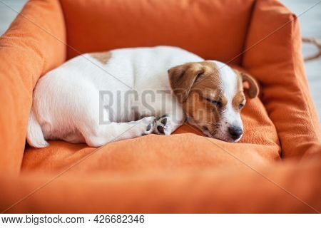 Little dog sleeping at home on the orange bed. Puppy lying