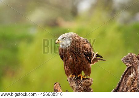Red Kite, Bird Of Prey Portrait. The Bird Is Sitting On A Stump. Ready To Attack Its Prey In The Rai