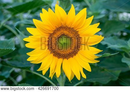 Sunflower Close-up In The Field, Blooming Helianthus On A Background Of Green Leaves. Beautiful Natu