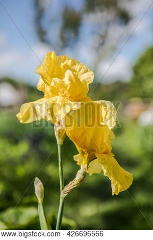 Germanica Iris Close-up In The Garden. Atmospheric Spring Floral Background. Solar Banner With Copy