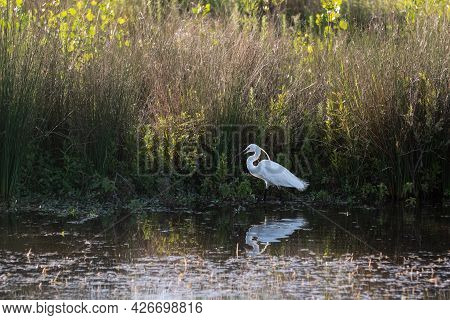 White Little Tufted Egret Looking For Its Preys In A Pond.
