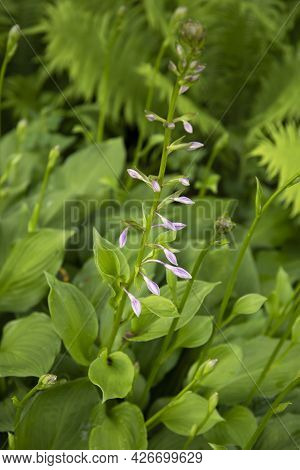 Closeup Of Hosta Plant With Purple Flowers Growing In The Garden