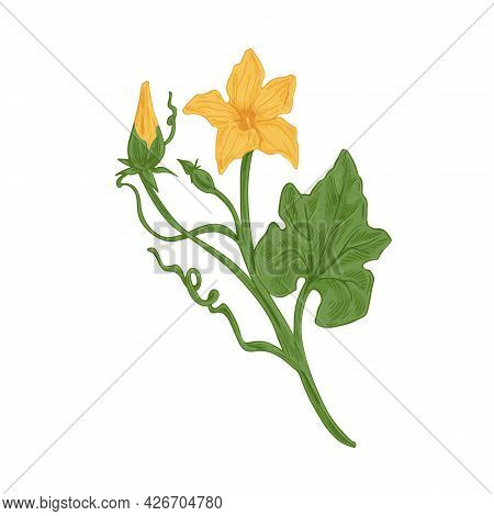 Blossomed And Unblown Flower Buds On Cucumber Or Pumpkin Plant With Stem And Leaves. Detailed Vintag
