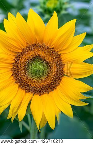 Sunflower Close-up In The Field, Blooming Helianthus On A Background Of Green Leaves. Floral Wallpap