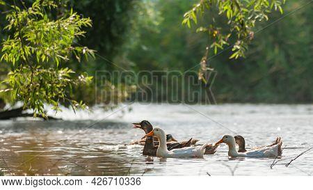 A Group Of Domestic Ducks Swim On The River. Domestic Ducks.
