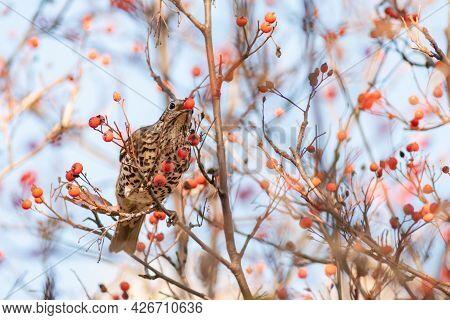Mistle Thrush, Turdus Viscivorus, Single Bird On Berries.