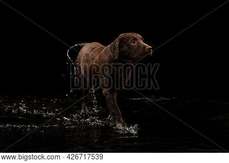 Beautiful Chocolate Color Big Labrador Dog Walking On Water Isolated Over Dark Background. Beauty An