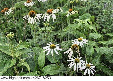 Picturesque Wild Daisies Close-up Against The Background Of Urban Asphalt. Natural Floral Background