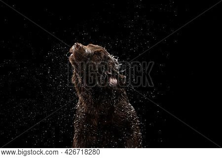 Beautiful Chocolate Color Big Labrador Dog In Water Splashes Isolated Over Dark Background. Beauty A