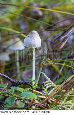 Small Mushrooms In The Forest.mycena Filopes Mushroom.