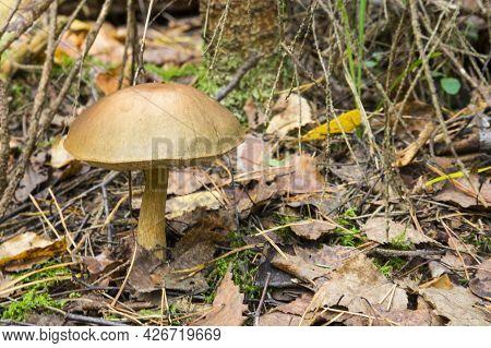 Beautiful Birch Leccinum Bolete In Autumn Forest. Leccinum Versipelle Mushroom In Moss Lichen