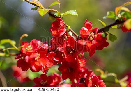 Red Flowers Of Blooming Bush Of Quince In The Garden, Springtime