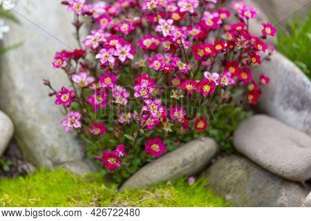 Red Spring Flowers Of Saxifraga