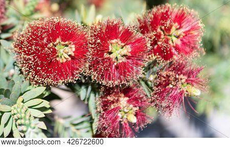 Red Bottlebrush Flowers. Dwarf Bottlebrush In Bloom. Blooming Callistemon. Flowering Plant