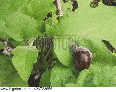 Snail Is On A Leaf Of Garden Eggplant. Pests Of Seedlings And Herbaceous Plants. Snail In The Garden