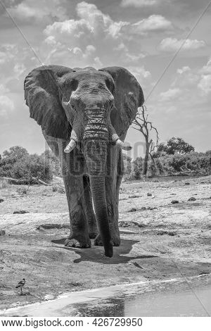 Single Elephant Stands In Front Of A Watering Hole In Chobe National Park, Botswana