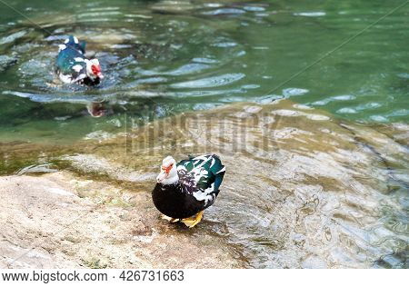 Beautiful Multicoloured Swimming Birds On The Rocky Shore Of Transparent Green Lake. Natural Backgro