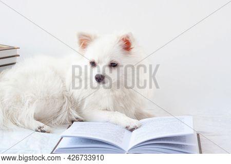 An Aesthetically Beautiful White Little Pomeranian Dog Lies Near An Open Book. The Concept Of Learni