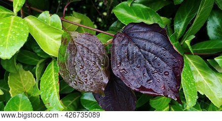 Close-up Two Blood-red Leaves Of Cornus Sanguineat Dogwood, Evergreen Laurel Leaves Around, Wet Rain