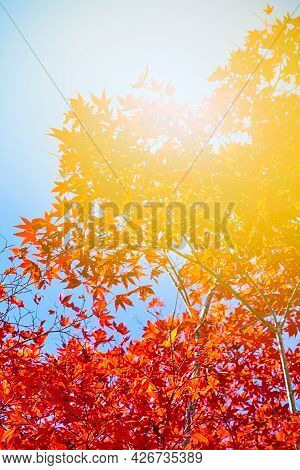Picturesque Traditional Japanese Red Maples Branches Against Blue Sky In Japan.