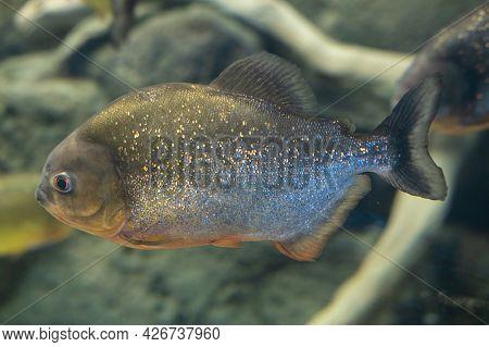 Piranha Close Up In The Aquarium. Pygocentrus Nattereri.