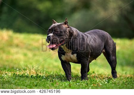 Black Female American Bully On The Lawn, Beautifully Posing For The Camera All The Grace And Power O