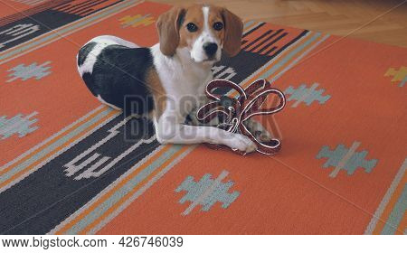 Cute Little Beagle With Leash Is Waiting To Go For Walk. Beagle Holding A Nylon Leash In Its Paws
