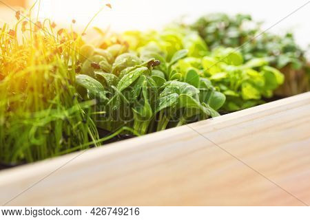Mixed Micro Greens In Growing Trays In A White Wooden Box. Microgreens Of Onions, Basil And Radishes